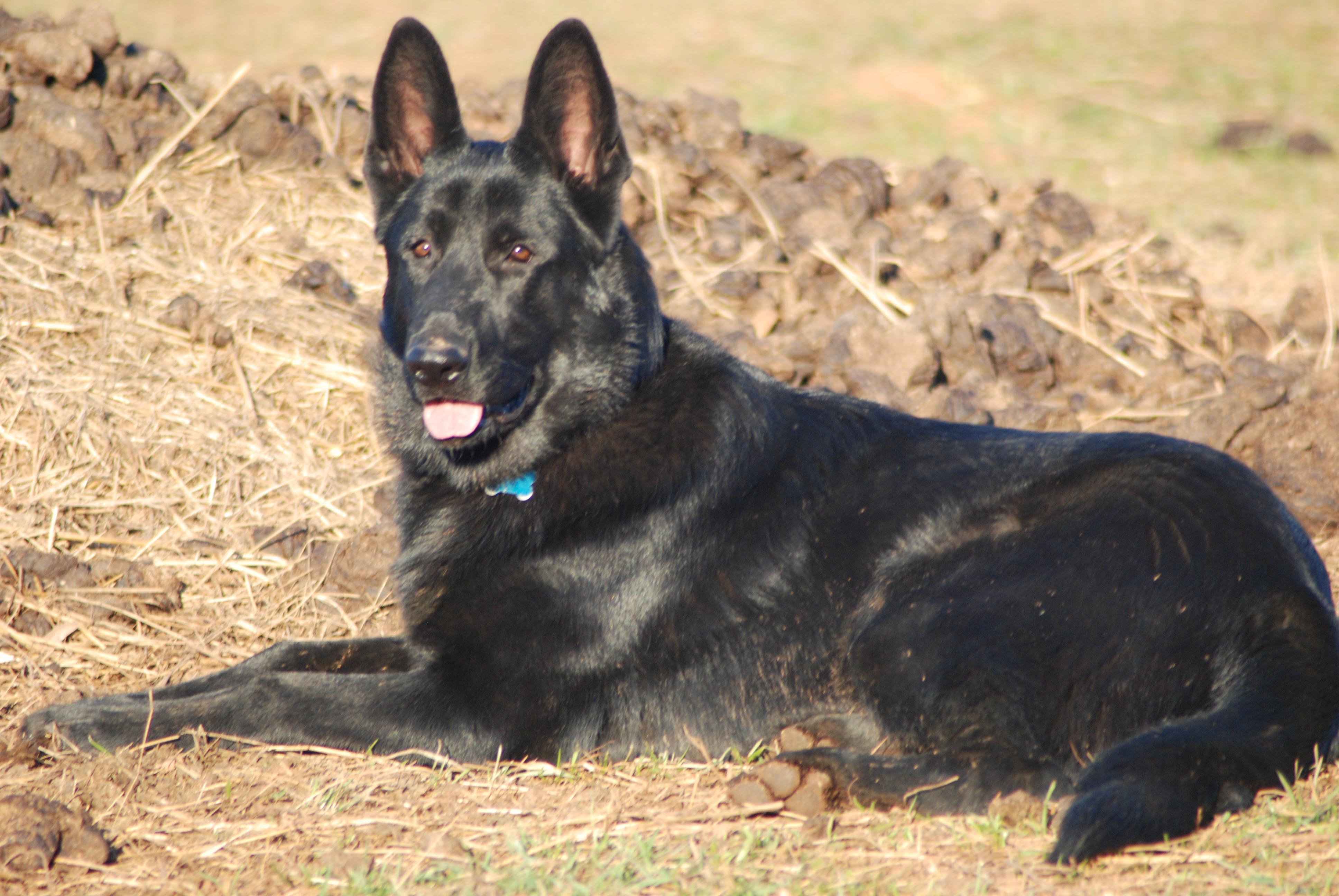 Our German Shepherds Best Black German Shepherds Html