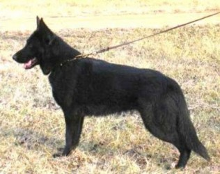 german shepherd stance r2 born february 22 2016 best black german shepherds 4154